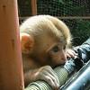 monkey-india