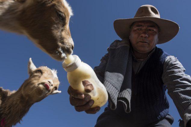 У дома на окраине Сускеса Хиполито Гузман кормит коз молочной смесью. Он и другие скотоводы обвиняют литиевые заводы в снижении уровня грунтовых вод и сокращении пастбищных площадей